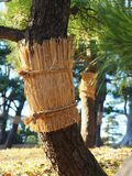 Japanese black pine & x28;Pinus Thunbergii& x29; with straw belt on. royalty free stock photo