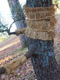 Japanese black pine & x28;Pinus Thunbergii& x29; with straw belts on ... and looking like it needs a hug. stock photography