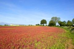Japanese blood grass crop Stock Photos