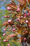 Japanese blossoming pink sakura Royalty Free Stock Photo
