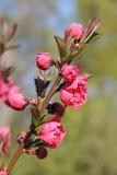 Japanese blossoming pink sakura Stock Image