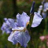 Japanese blue iris Stock Photos