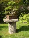 Japanese bonsai Stock Images