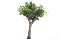 Japanese Bonsai Royalty Free Stock Image