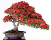 Japanese bonsai Royalty Free Stock Photography
