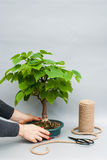 Japanese bonsai in a ceramic pot. Bonsai on a gray background. Houseplant on a simple gray background. Stock Photography