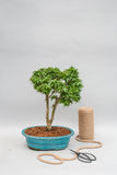 Japanese bonsai in a ceramic pot for indoor plants. Stock Photography
