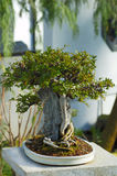 A Japanese Bonsai tree Stock Photo