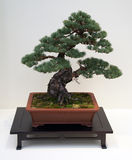 Japanese bonsai tree. Kiku Exhibit in the New York Botanical Garden - Japanese bonsai tree Stock Images