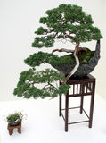 Japanese bonsai tree. Kiku Exhibit in the New York Botanical Garden - Japanese bonsai tree royalty free stock image