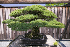 Japanese Bonsai tree from 1625 AD in National Arboretum, Washington D.C. Stock Image