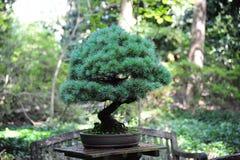 Japanese Bonsai Tree Stock Images