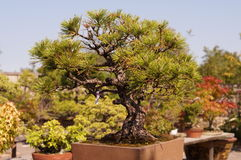 Japanese Bonsai Tree Art Stock Image