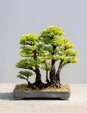 Japanese bonsai tree Cedar Elm clump Stock Photography