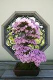 Japanese Bonsai tree in National Arboretum, Washington D.C. Stock Image
