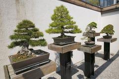 Japanese Bonsai tree in National Arboretum, Washington D.C. Stock Images
