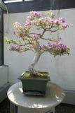 Japanese Bonsai tree in National Arboretum, Washington D.C. Royalty Free Stock Photos