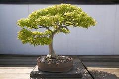 Japanese Bonsai tree in National Arboretum, Washington D.C. Royalty Free Stock Photo