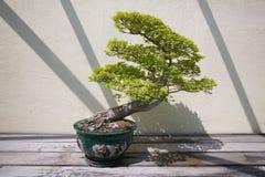 Japanese Bonsai tree in National Arboretum, Washington D.C. Royalty Free Stock Images