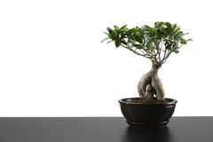 Japanese bonsai tree in pot. On white background Royalty Free Stock Photo