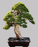 Japanese bonsai tree in pot isolated Stock Image