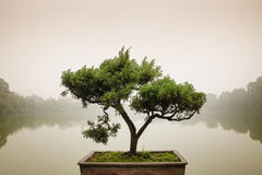 Japanese bonsai tree in pot at zen garden. Royalty Free Stock Photography