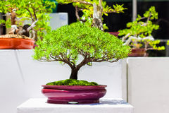 Japanese bonsai trees Royalty Free Stock Image