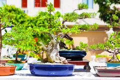 Japanese bonsai trees Stock Photos