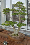 Japanese Boxwood Bonsai Tree Stock Images