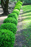 Japanese Boxwood Schrubs. Close up of a row japanese boxwood schrubs Stock Image