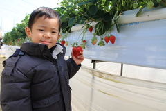 Japanese boy eating strawberry Royalty Free Stock Images