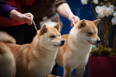 Japanese Breed Shiba Inu at the dog show portrait Royalty Free Stock Images