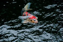 Japanese bright orange red carp fish in sacred pond Royalty Free Stock Photography