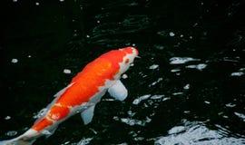 Japanese bright orange red carp fish in sacred pond Royalty Free Stock Photos