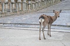 Japanese brown deer on an ancient stone road in Nara Japan Royalty Free Stock Photos