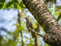 Japanese brown-eared bulbul perched in a tree. A Japanese brown-eared bulbul perches in a tree in a Japanese park royalty free stock photos