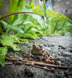 Japanese brown frog Royalty Free Stock Images