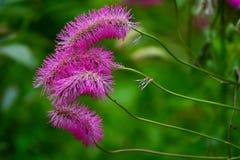 Japanese burnet Sanguisorba obtusa in flower Stock Photography