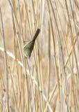 Japanese bush warbler Royalty Free Stock Photo
