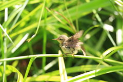 Japanese Bush Warbler Stock Images