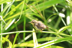 Japanese Bush Warbler Stock Image