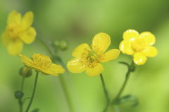 Japanese Buttercup Royalty Free Stock Photos