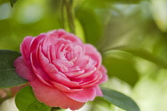 Japanese camellia Royalty Free Stock Image