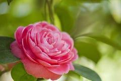 Japanese camellia Royalty Free Stock Image