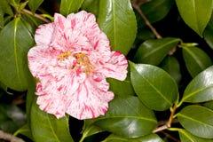 Japanese Camellia -Dahlohnega- Camellia japonica Royalty Free Stock Photography