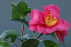 Japanese camellia flower on black  2 Stock Photos