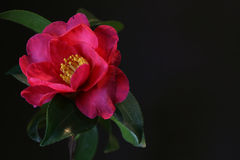 Japanese camellia flower on black Stock Photos