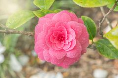 Japanese camellia. Royalty Free Stock Photos