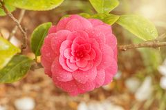 Japanese camellia. Stock Photo