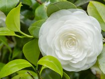 Japanese camellia. Flower of japanese camellia on the branch Royalty Free Stock Photo